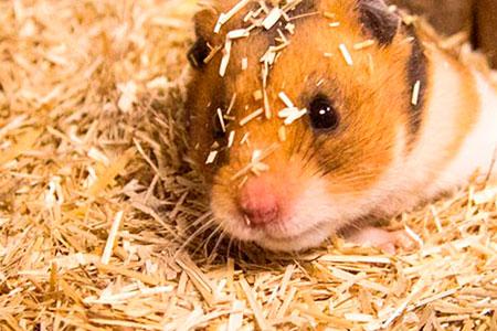 Hamster in bunnyBedding Active